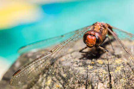 dropwing: Dragonfly in detail over rustic branch