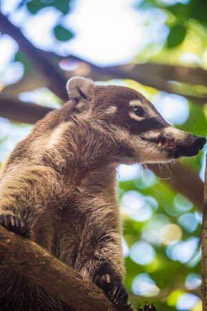 Traveling through Mexico yucatan local wildlife. cute mammal.