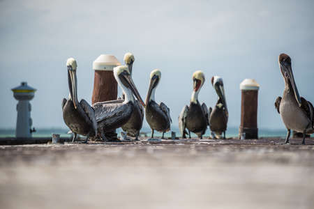 danube delta: Brown and White Pelicans at a Pier in Holbox Island. Near Cancun. Stock Photo