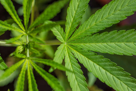 opiate: Farming Marijuana plants, home plants. Green Drug. Stock Photo