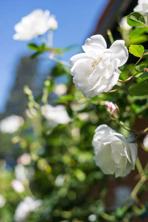 booked: White roses bokeh. Copy Space