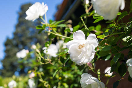 White roses bokeh. Copy Space