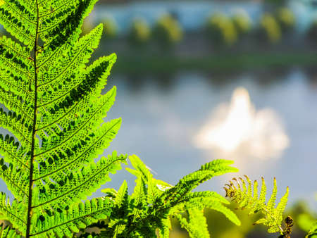 Dryopteris (commonly called wood fern, male fern, or buckler fern). In the background the city of Bergen, Norway