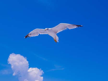 Sea Gull Flying Portrait