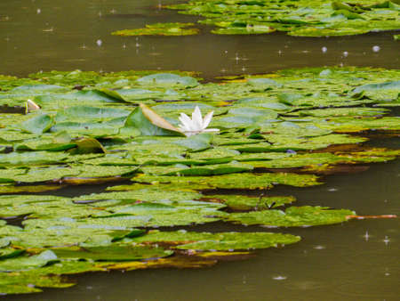 Pond with Waterlilies close up Banco de Imagens