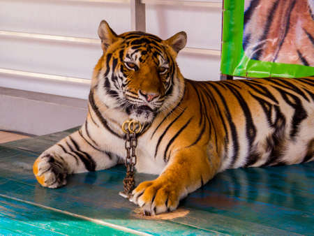 Tiger in chains for photo with tourists in Nong Nooch Tropical Botanical Garden, Pattaya, Thailand 写真素材 - 150642579