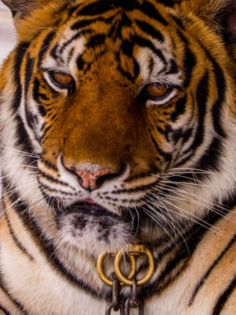 Tiger in chains for photo with tourists in Nong Nooch Tropical Botanical Garden, Pattaya, Thailand Stockfoto