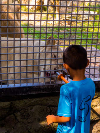 Kid feeding lioness in zoo