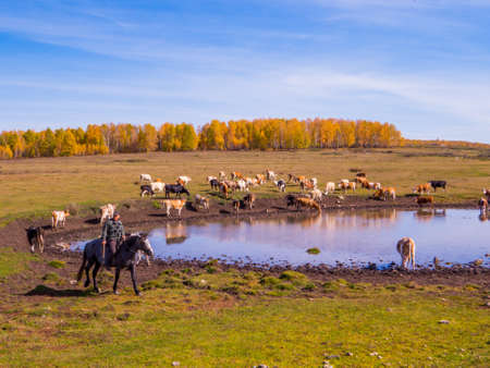 IRKUTSK REGION, RUSSIA - SEPTEMBER 24, 2018: Cows near a pond not far from the Lake Baikal. Éditoriale