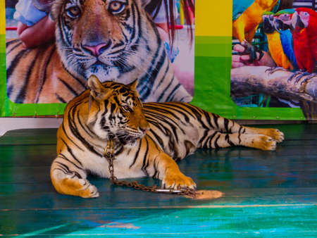 PATTAYA, THAILAND - JANUARY 2, 2019: Tiger in chain for photo with tourists in Nong Nooch Tropical Botanical Garden.