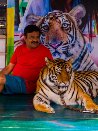 PATTAYA, THAILAND - JANUARY 2, 2019: Tiger in chains for photo with tourists in Nong Nooch Tropical Botanical Garden.
