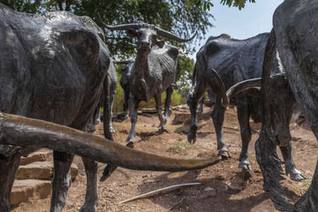 Cattle drive sculpture in the city of Dallas Stockfoto