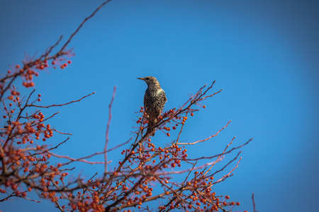 European Starling on a tree with red fruits