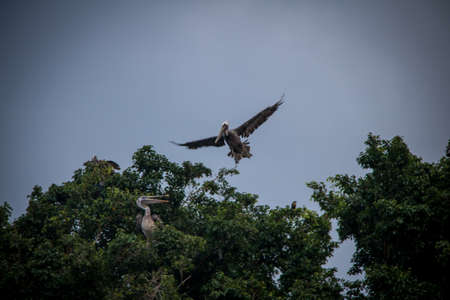 Brown pelican flying over the tree - Panama City, Panama Stock Photo - 74769212