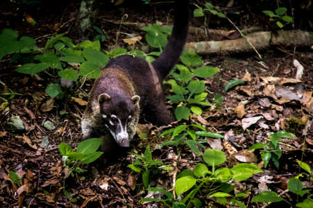 Coatimundi Raccoon at Tikal National Park - Guatemala