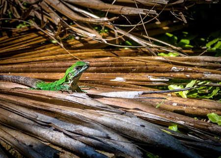 Green Lizard - Tulum, Mexico Reklamní fotografie