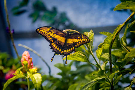 conservatory: Black and Yellow Butterfly