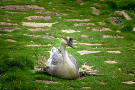 Farm goose sitting Stock Photo