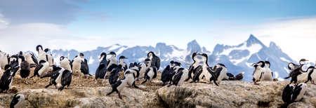 Cormorants - sea birds in the Beagle Channel, Ushuaia, Argentina