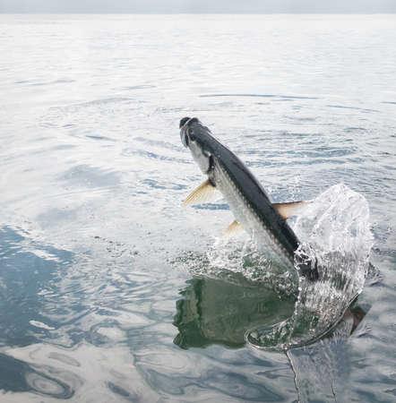 Tarpon vis springen uit water - Caye Caulker, Belize Stockfoto