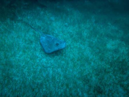 blue fish: Stingray in caribbean sea - Caye Caulker, Belize Stock Photo