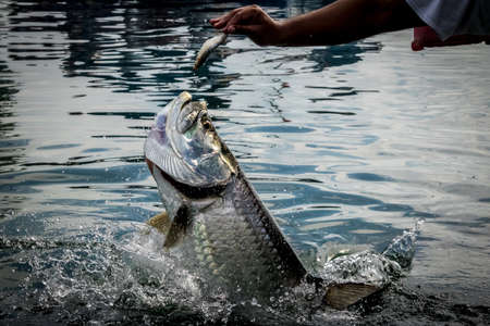 Tarpon fish jumping out of water - Caye Caulker, Belize