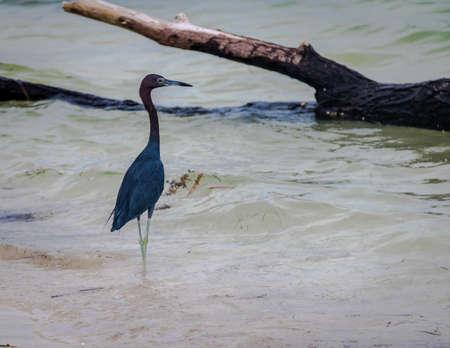 Little Blue Heron (Egretta caerulea) - Caye Caulker, Belize