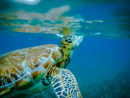 blue fish: Sea turtle in Caribbean Sea - Caye Caulker, Belize