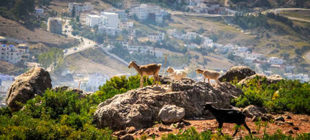 Goats on hills of Chefchouen - Morocco Stock Photo - 75962569