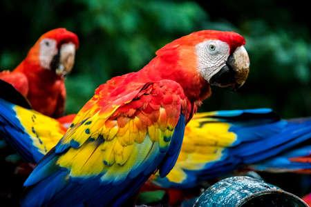 Scarlet Macaws - Copan, Honduras
