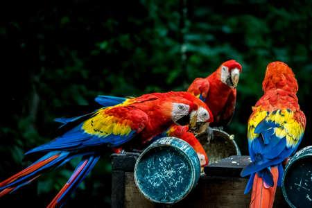 Scarlet Macaws eating - Copan, Honduras