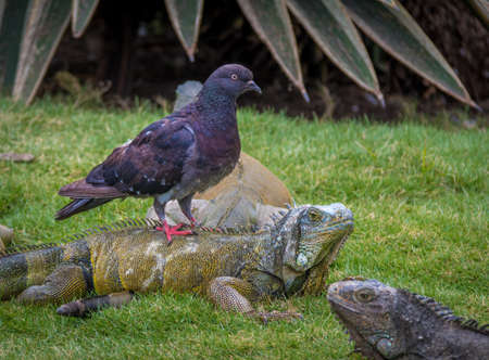 embarrassing: Iguana and pigeon in Seminario park - Guayaquil, Ecuador Stock Photo