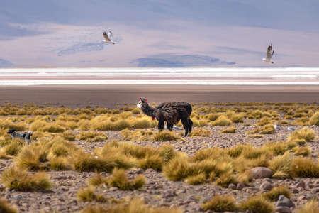 bolivian: Llama in Bolivean altiplano - Potosi Department, Bolivia Stock Photo