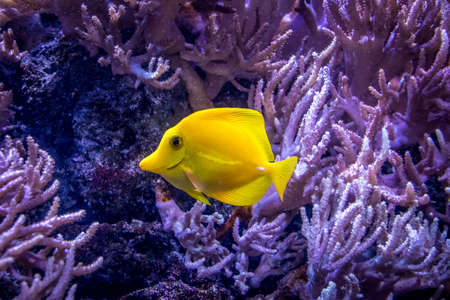 flavescens: Yellow Tang (Zebrasoma flavescens)