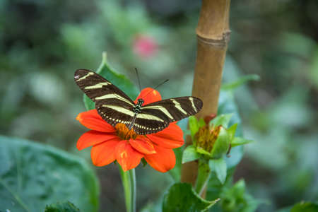 Zebra longwing butterfly on a orange flower Stock Photo