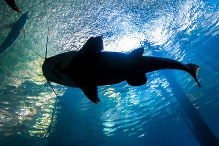 Underwater bottom-top silhouette of a big catfish