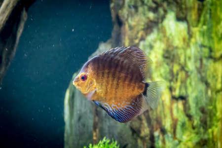 cichlid: Orange and blue discus fish (Symphysodon aequifasciatus)