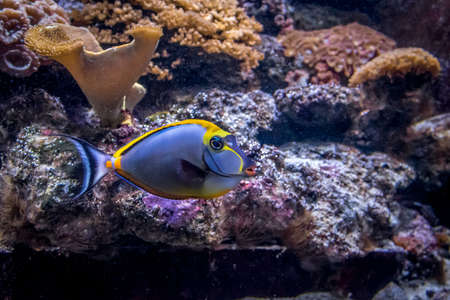 Unicorn fish: Tropical Fish Naso Tang (Naso lituratus)