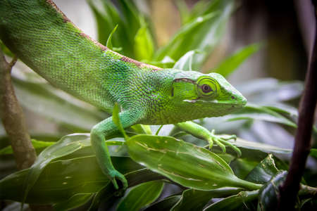 Green Lizard on a cage - Bertholds Bush Anole (Polychrus gutturosus)