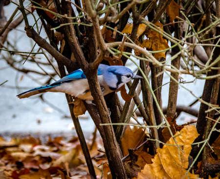 bluejay: Blue Jay Bird at Central Park - New York, USA Stock Photo
