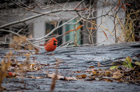 Male Northern Cardinal Bird at Central Park - New York, USA