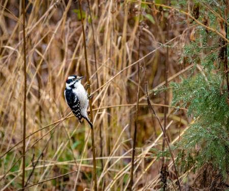 Downy Woodpecker Bird at Central Park - New York, USA Stock Photo