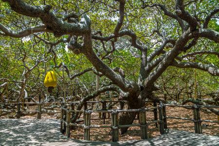 World's Largest Cashew Tree - Pirangi, Rio Grande do Norte, Brazil