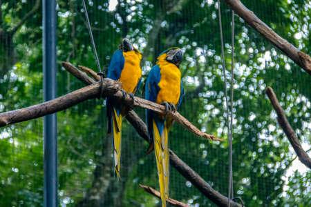 wildlife preserve: Blue and Gold Macaws at Parque das Aves - Foz do Iguacu, Parana, Brazil Stock Photo