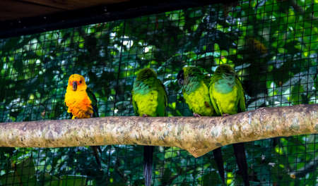 distinctive: Sun Parakeet standing out close to Nanday Parakeets at Parque das Aves - Foz do Iguacu, Parana, Brazil