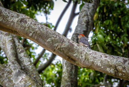 Small Red-crowned woodpecker bird (Melanerpes rubricapillus) in a tree - Cali, Colombia Stock Photo