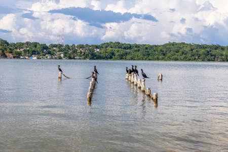 Neotropic Cormorants in a pier - Flores, Peten, Guatemala