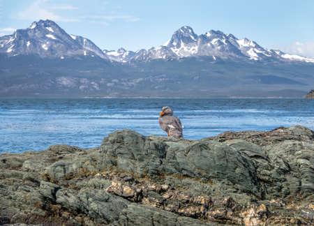 flightless: Flightless Steamer-Duck and mountains at Tierra del Fuego National Park in Patagonia - Ushuaia, Tierra del Fuego, Argentina