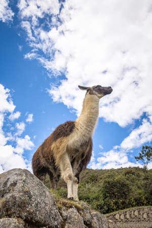 Llamas at Machu Picchu Inca Ruins - Sacred Valley, Peru Stock Photo