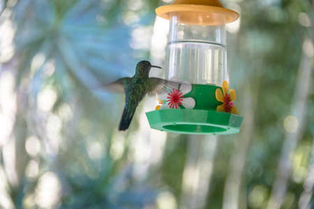 Green hummingbird flying and drinking from a flower drinker - Ilhabela, Sao Paulo, Brazil